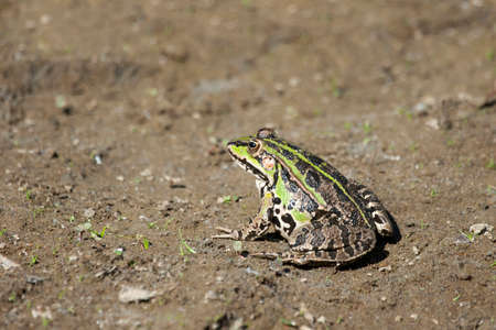 green brown: An edible green frog standing on ground. Stock Photo