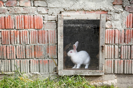 rabbit in cage: A white rabbit in a farm cage in the countryside.