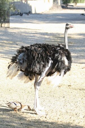 kept: An ostrich kept in a Zoo in Tozeur, Tunisia. Stock Photo