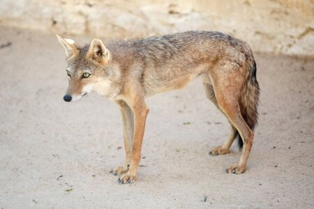 kept: A side view of a jackal kept in Zoo in Tozeur, Tunisia. Stock Photo