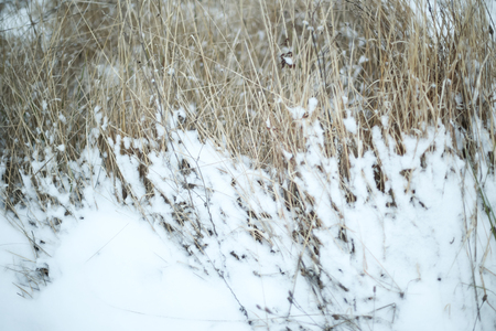 A view of dried bushes covered with snow.
