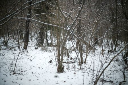A forest with bare trees covered with snow.