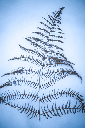 A directly above view of a dried fern leaf on snow.