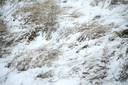 A view of dried high grass covered with snow.
