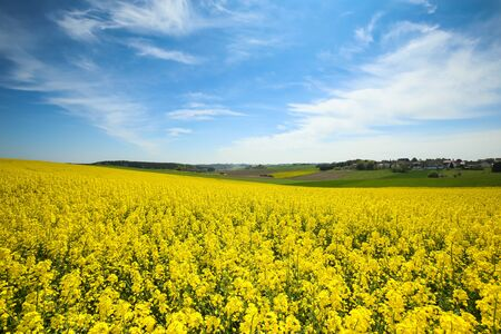 canola: A view of yellow flowering rapeseed fields in spring in Bavaria, Germany. Rapeseed is grown for the production of animal feeds, vegetable oils and biodiesel.