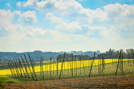 blossoming yellow flower tree: Cultivated hop and rapeseed fields in spring under the cloudy sky in Bavaria, Germany.