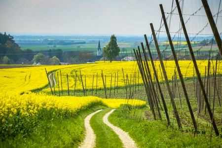 A pathway leading through the yellow flowering rapeseed and hop fields in spring in Bavaria, Germany.