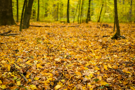 A view of fallen leaves covering the ground in the autumn forest. Stock Photo