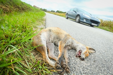 A car passing next to a dead fox lying on the ground beside road.