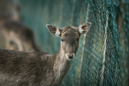 A roe deer in captivity looking at the camera.