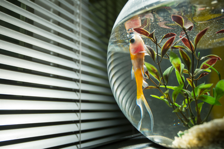 A goldfish swimming in a fishbowl next to the window.