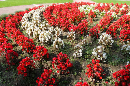 Red and white flowers beautifully planted in the row in the park of Nasice town in Croatia.