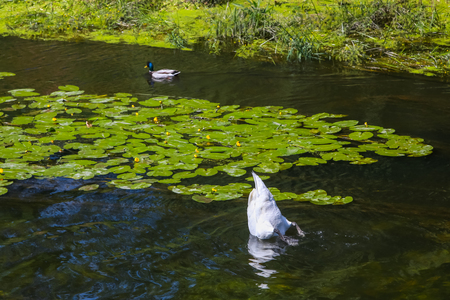 Swan is feeding by diving with the head into the water in the river full of water lilies in Vukovar, Croatia. Stock Photo