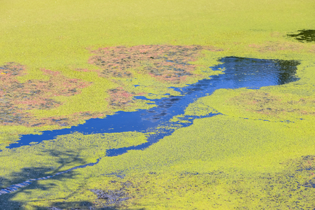 Nature detail of the green river Bosut covered with algal blooms in Vinkovci, Croatia.