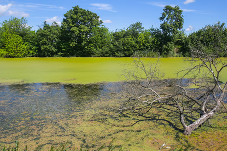 A view of a branchy tree in the green river Bosut covered with algal blooms in Vinkovci, Croatia.