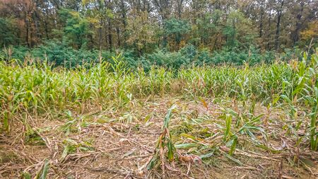 Remains of a destroyed corn field from Wild boar.