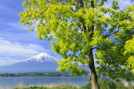 kawaguchi: Mt.Fuji and acacia