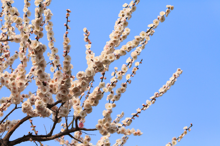 catchphrases: japanese plum blossoms