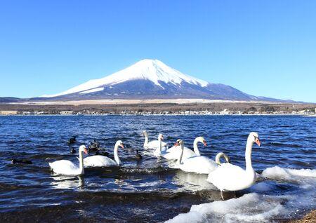 catchphrases: Mount Fuji and swans at Lake Yamanaka Stock Photo