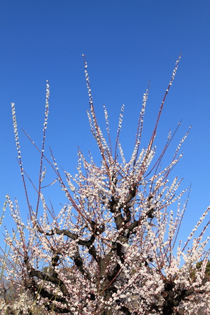 catchphrases: Plum flowers and blue sky Stock Photo