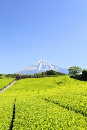 catchphrases: Fresh green tea plantation and Mt. Fuji
