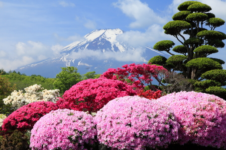 full      bloom: Azalea in full bloom of Mt. Fuji