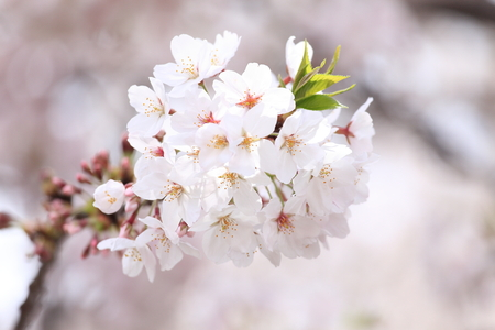 full      bloom: Sakura in full bloom Stock Photo