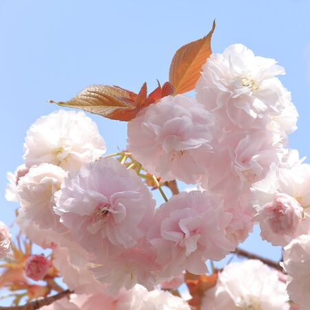 full bloom: Double cherry blossoms in full bloom Stock Photo