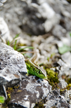 Green lizard on the rocks. Stones covered with moss and grass.