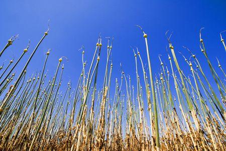 planta de ajo silvestre que crece en una isla desierta Foto de archivo - 5135981