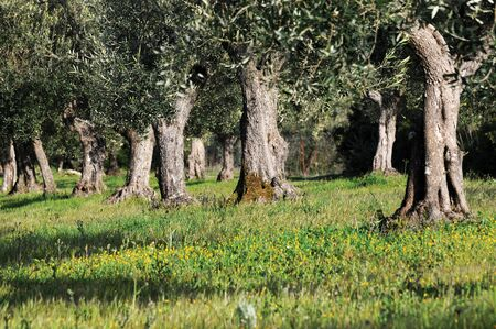 centenarian: centenarian olive trees in a wood Stock Photo