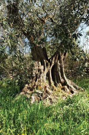 centenarian: olivo centenarias en un bosque