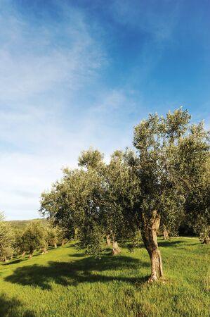 centenarian: centenarias olivos en un bosque