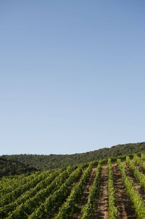 vineyard in the tuscany country photo