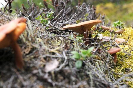 brushwood: Mushroom in the norway brushwood Stock Photo