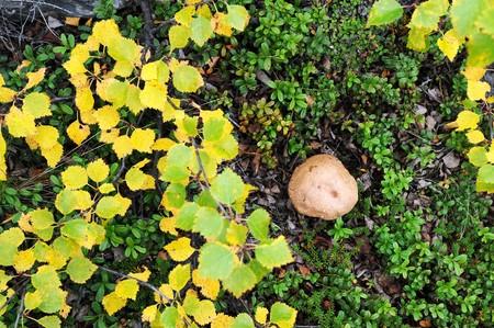 Mushroom in the norway brushwood Stock Photo - 7928222