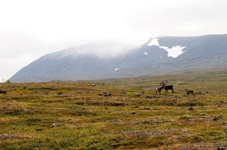 deers in the polar circle grassland in norway Stock Photo - 7928212