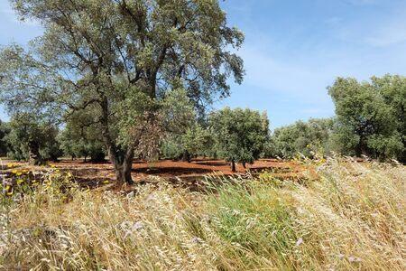 Olive trees Puglia Фото со стока