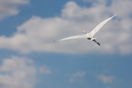 A white Great Egret in flight in the Everglades swamp in Florida photo