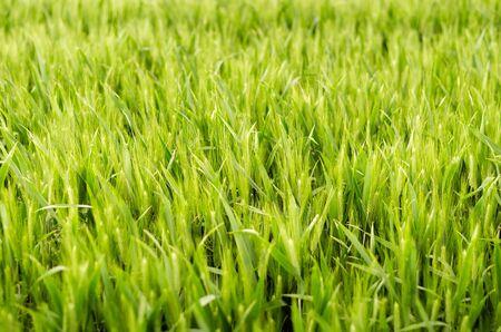 serenety: Wheat green field