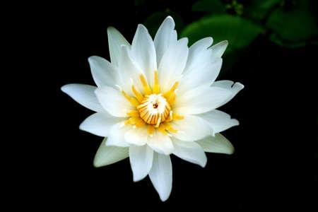 White lotus in thailand Stock Photo - 14809736