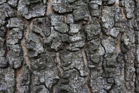 Old tree bark texture photo