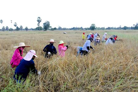 cull: KHONKAEN, THAILAND - NOVEMBER 22 : The unidentified farmer is at teamwork in traditional way of life at the harvest time in jasmine rice field on November 22, 2012 on Khonkaen, Thailand.