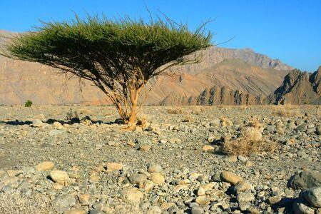 Single tree in Omans Desert photo