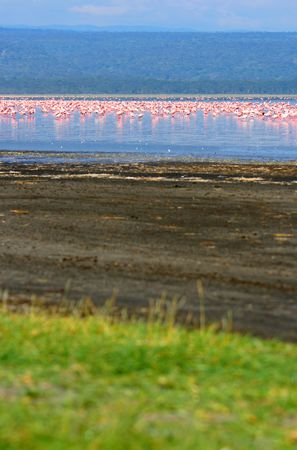 nakuru: Flocks of flamingo. Africa. Kenya. Lake Nakuru
