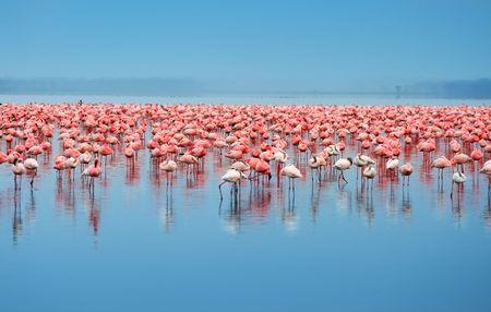 bandada pajaros: Bandadas de flamencos. África. Kenia. Lago Nakuru