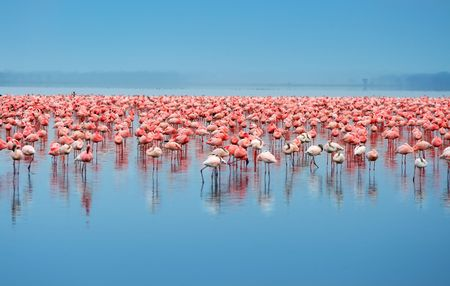 Flocks of flamingo. Africa. Kenya. Lake Nakuru Imagens - 5139094