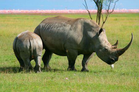 Rhinoceros in the wild. Africa. Kenya. Lake Nakuru photo