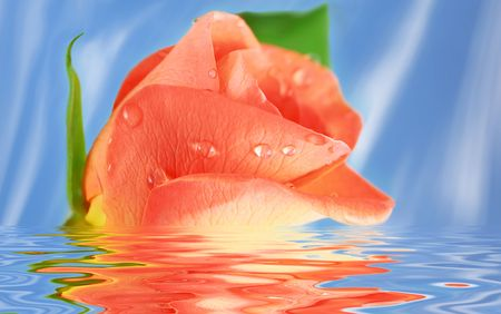 Pink Rose in water against blue background photo