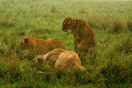 Family of Lions under the rain. Africa. Kenya. Masai Mara Stock Photo - 5175887